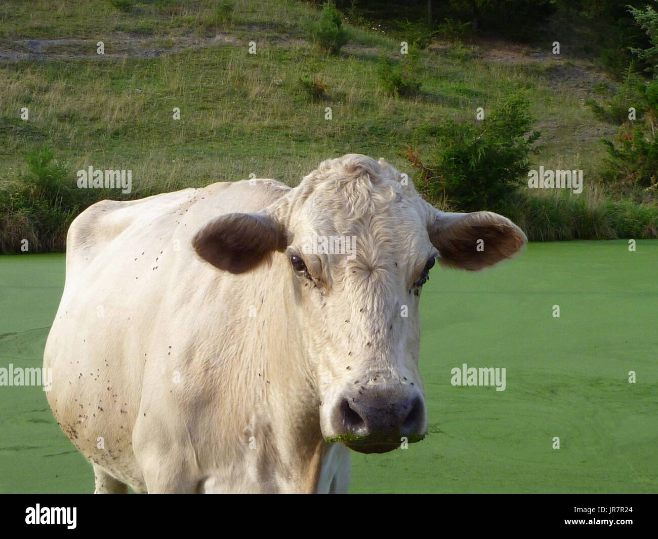 White cow covered with flies standing in algae-filled pond - Stock Image