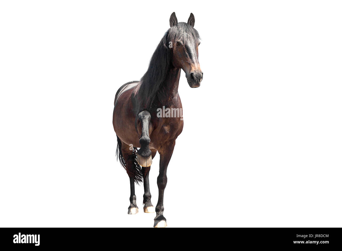 funny horse say hello and lift the hoof Stock Photo