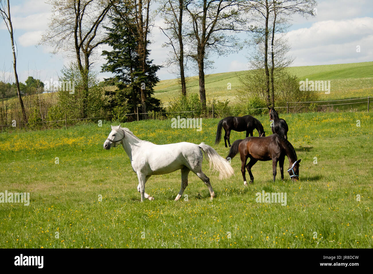 free horses grazing in meadow with lots of flowers in summer. herd of horses together outside - Stock Image