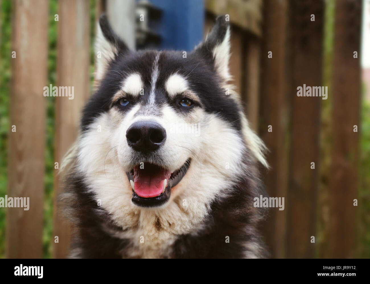 Siberian Husky with blue eyes smiling into camera, image with vintage effect - Stock Image