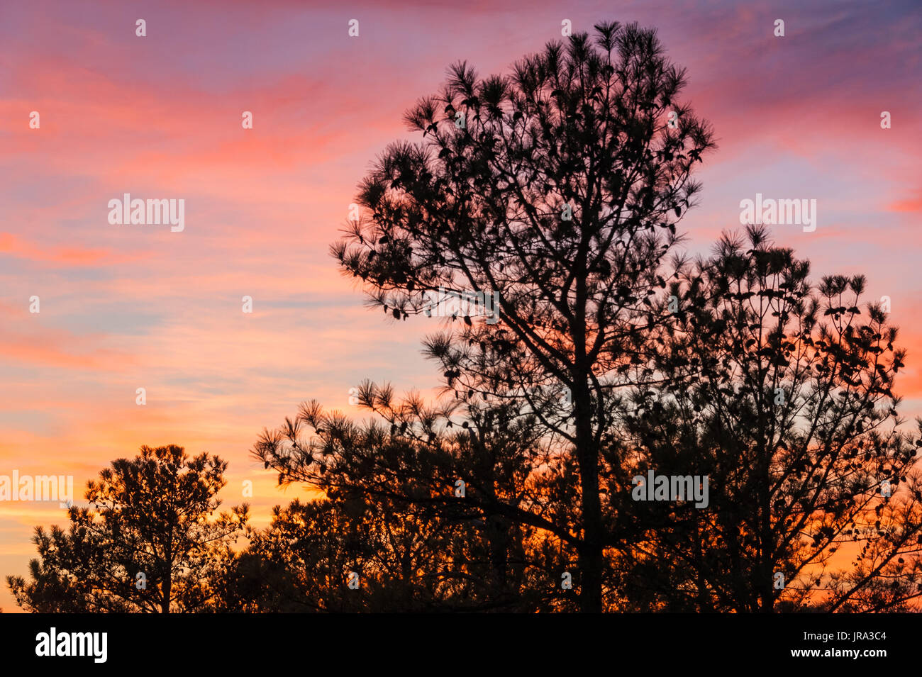 Pine trees loaded with pine cones and silhouetted against a colorful sunset sky at Stone Mountain Park in Atlanta, Georgia. (USA) - Stock Image