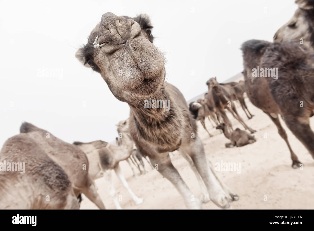 Funny closeup of a camel face focusing on the mouth. High key, shallow dept of field image. - Stock Image