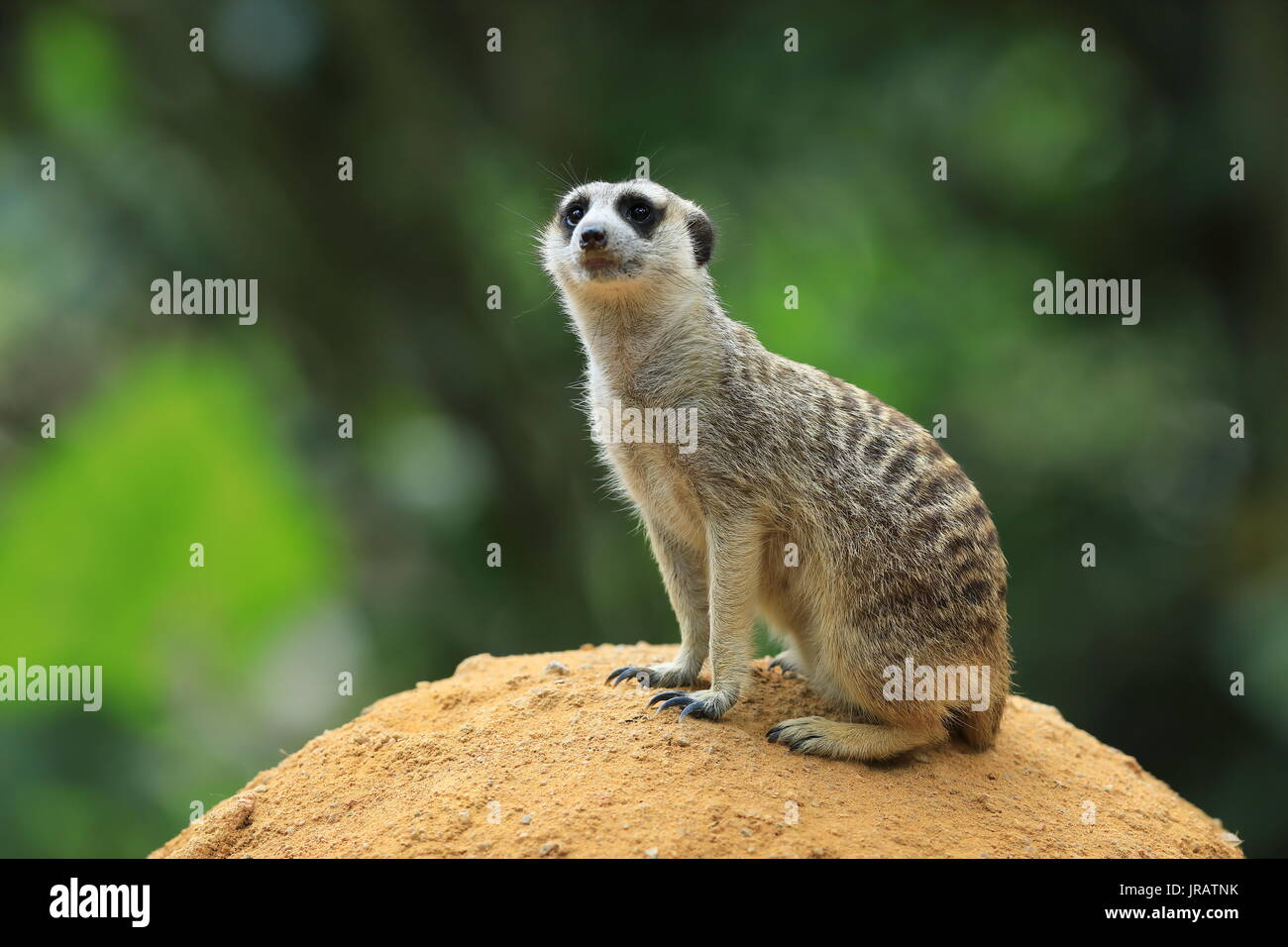 An image of a single meerkat - Stock Image