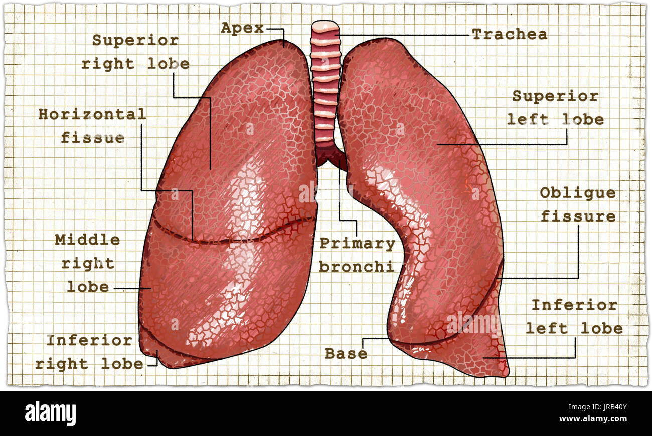 Lung Drawing Stock Photos Lung Drawing Stock Images Alamy