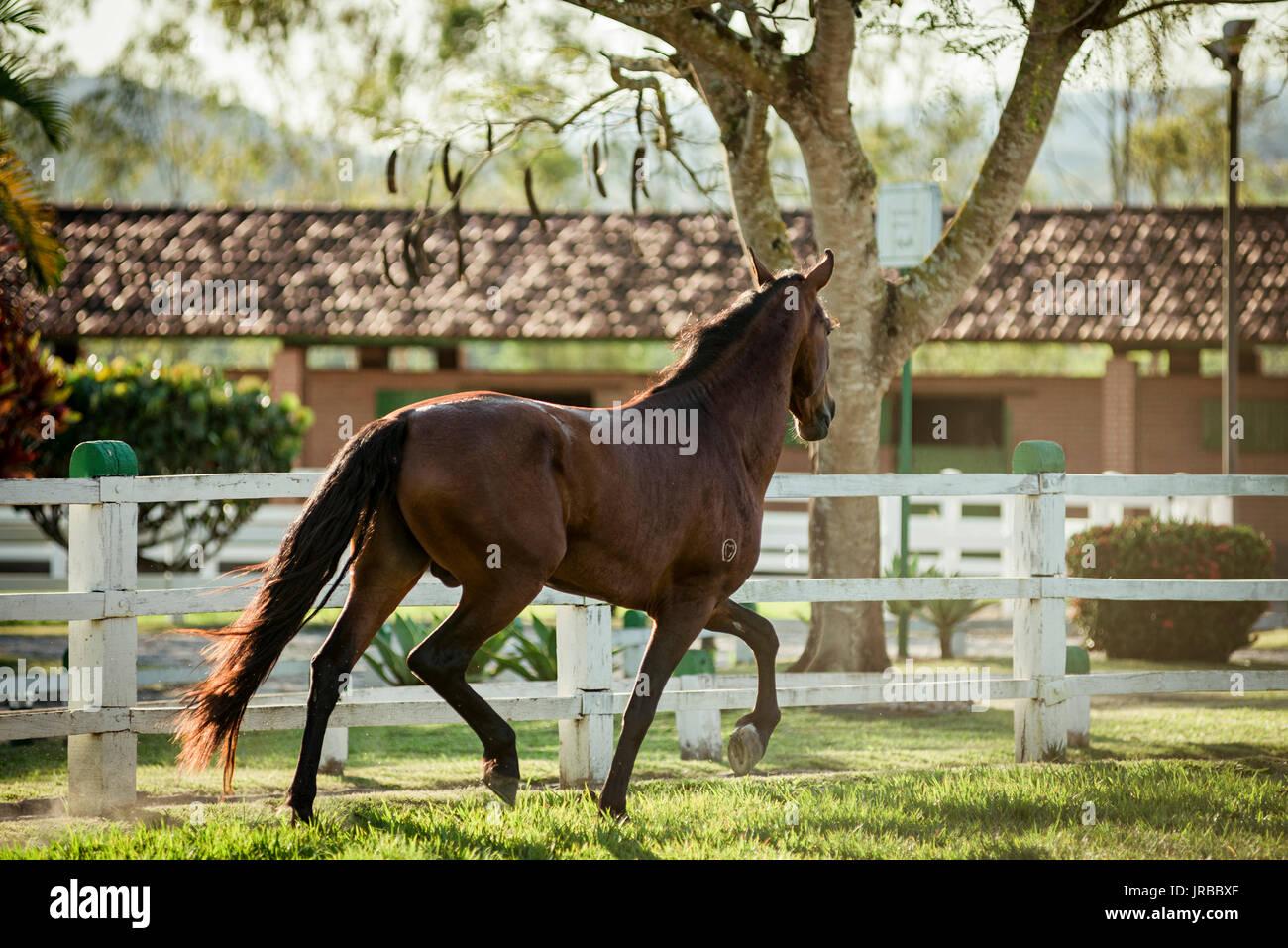 Mangalarga Marchador stallion in Brazil - Stock Image