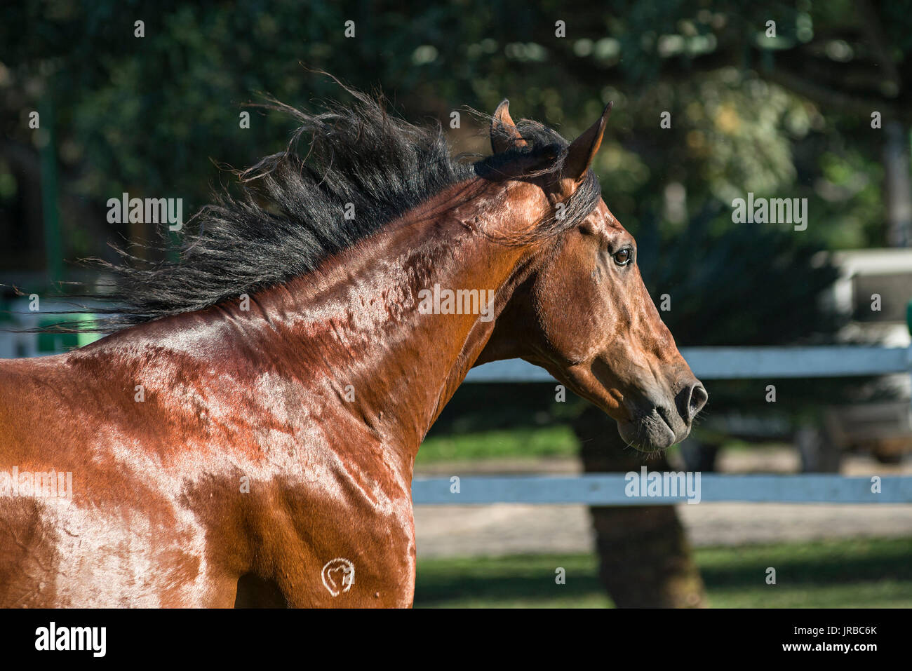 Mangalarga Marchador stallion in Brazil - Stock Image