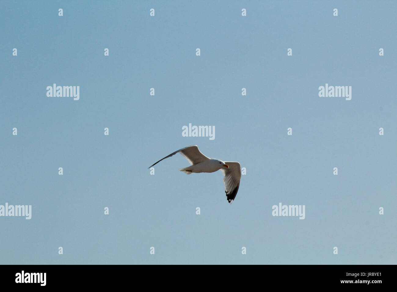 Seagull soaring through the clear blue sky - Stock Image