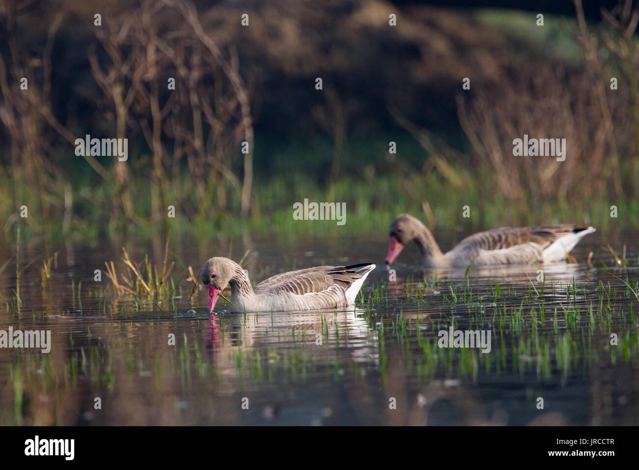 greylag goose (Anser anser) in Bharatpur Bird Sanctuary, Rajasthan, India. - Stock Image