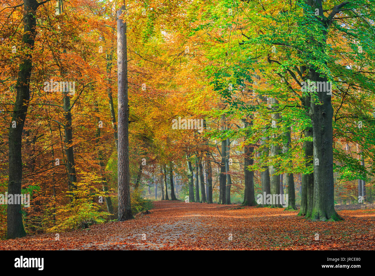 "Colorful tree foliage on the beech trees along a path through a forest in autumn in National Park ""De Hoge Veluwe"", in the Netherlands. - Stock Image"