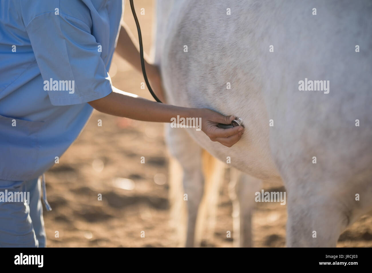 Midsection of female vet examining horse at barn - Stock Image