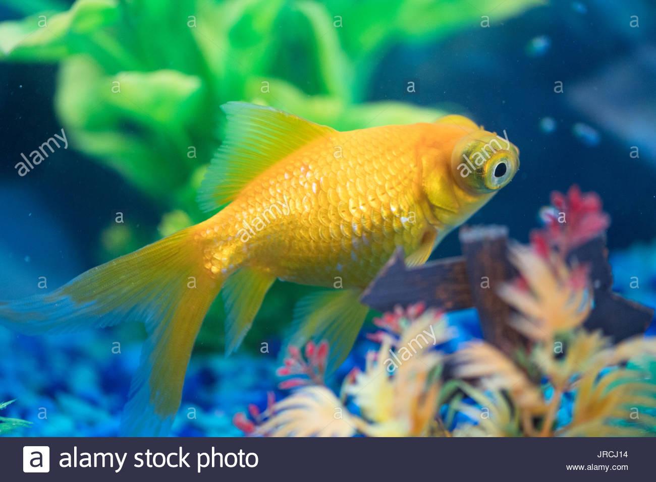 Dragon Goldfish Stock Photos & Dragon Goldfish Stock Images - Alamy