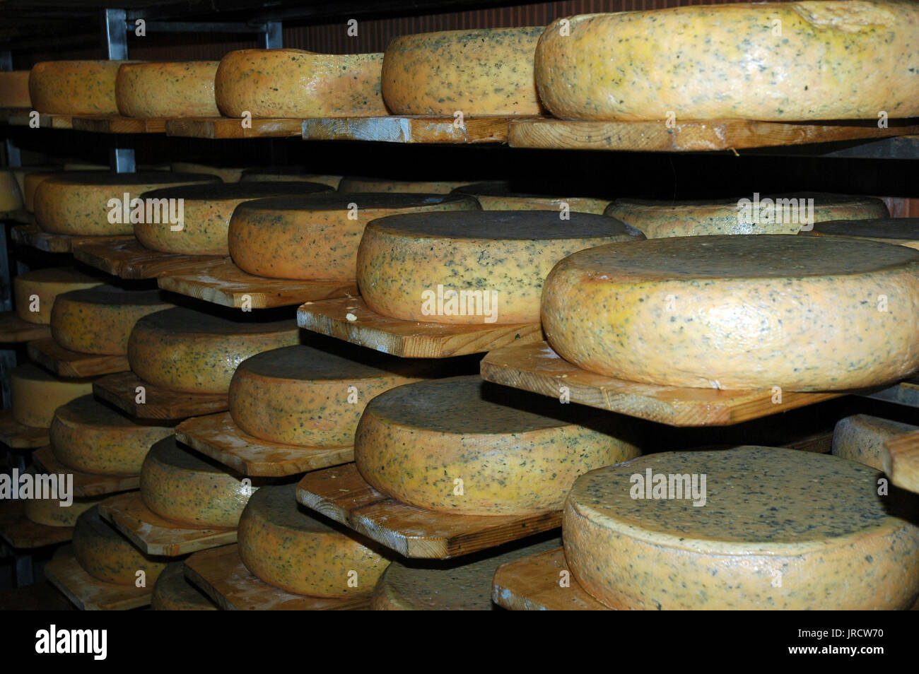 cheese maturing on wooden shelves - Stock Image