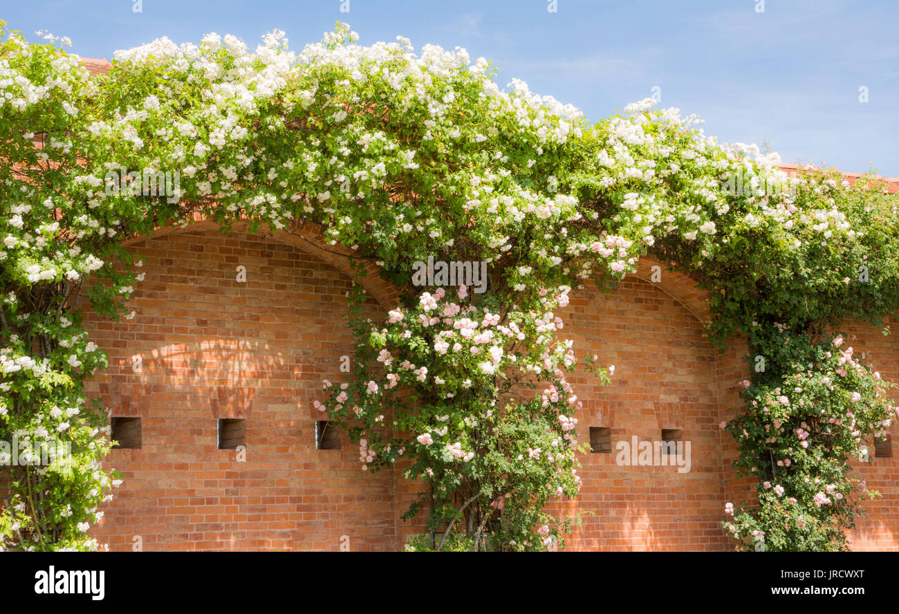 Huge white flowering rambler rose at a brick wall - Stock Image