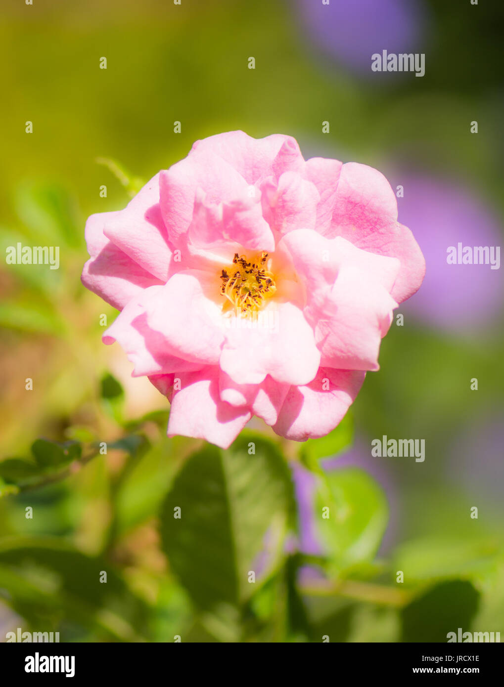 Closeup of a pink rambler rose blossom - Stock Image