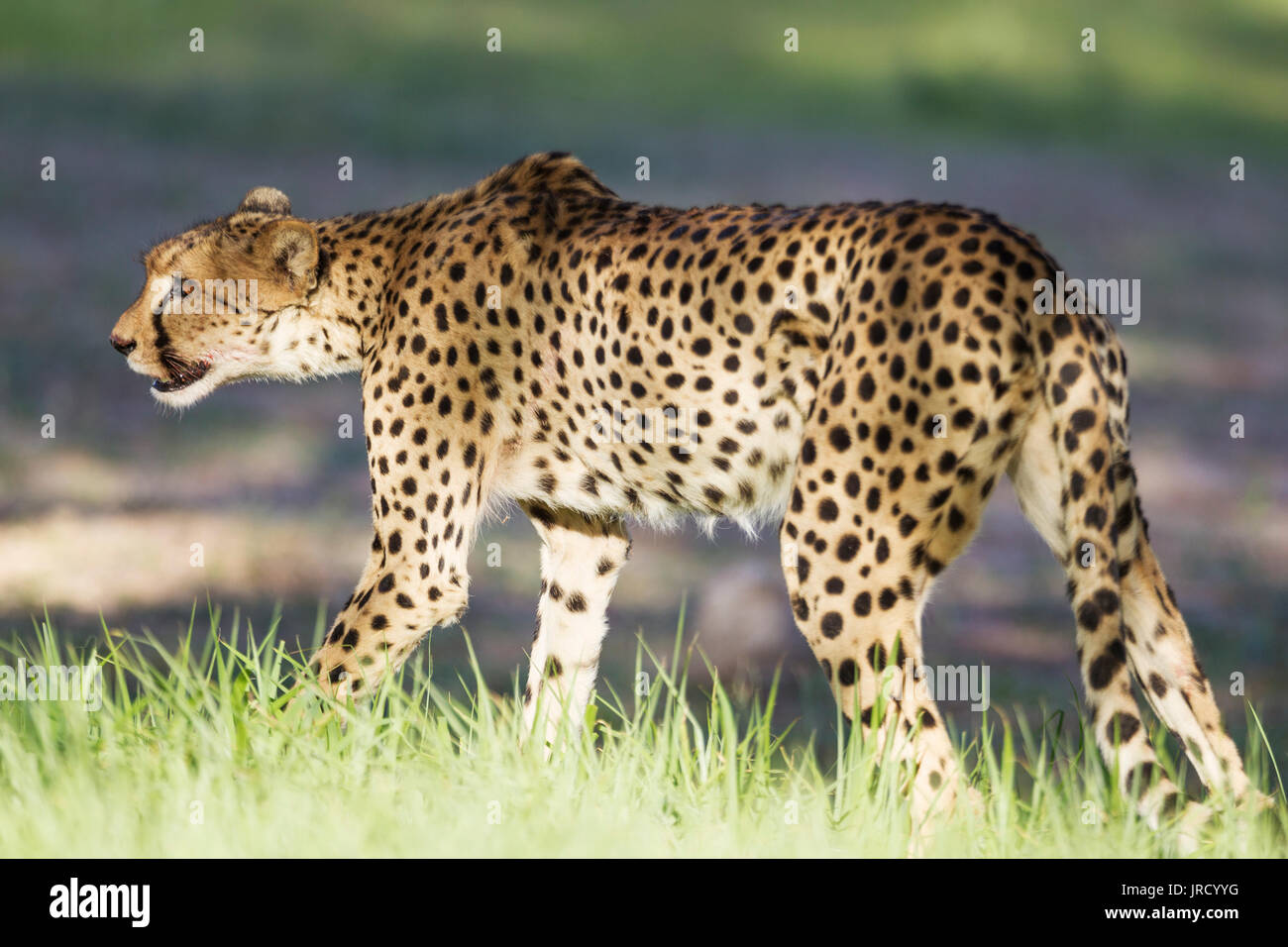 Cheetah (Acinonyx jubatus), female with blood at snout, Kalahari Desert, Kgalagadi Transfrontier Park, South Africa - Stock Image