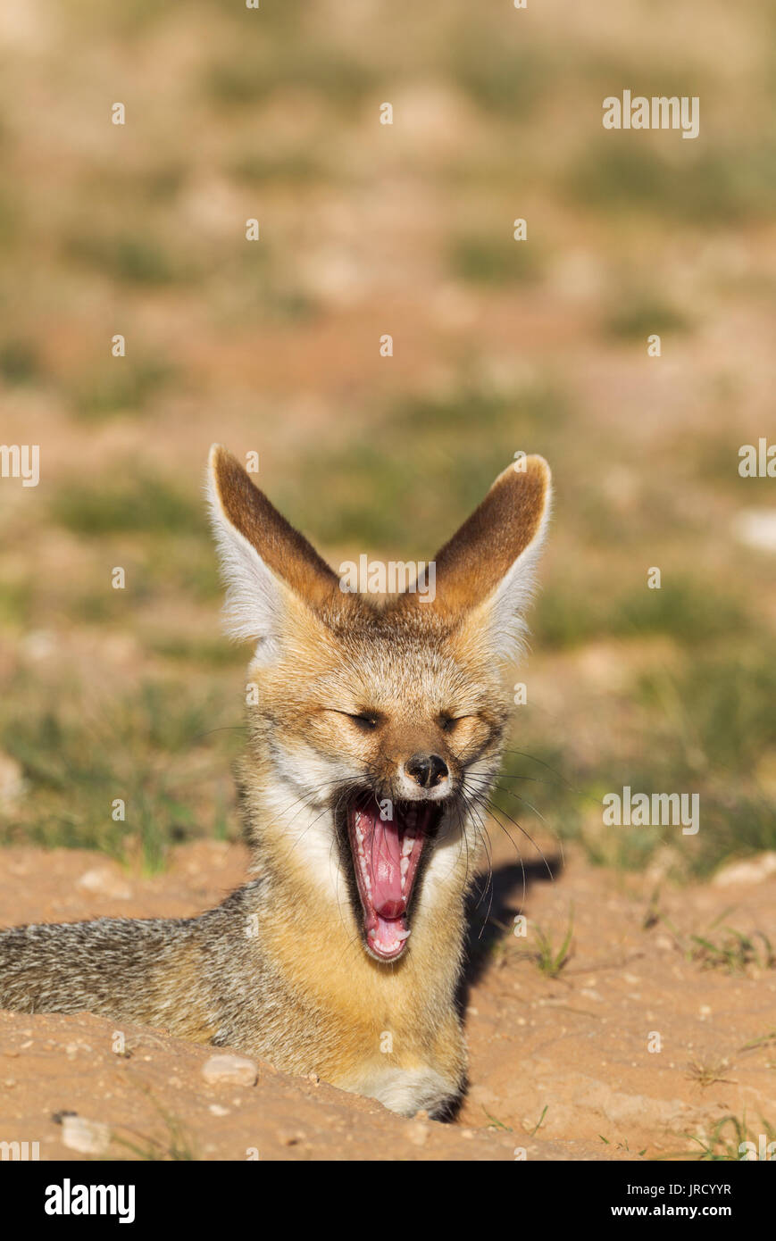 Cape Fox (Vulpes chama), at its burrow, yawning, Kalahari Desert, Kgalagadi Transfrontier Park, South Africa - Stock Image
