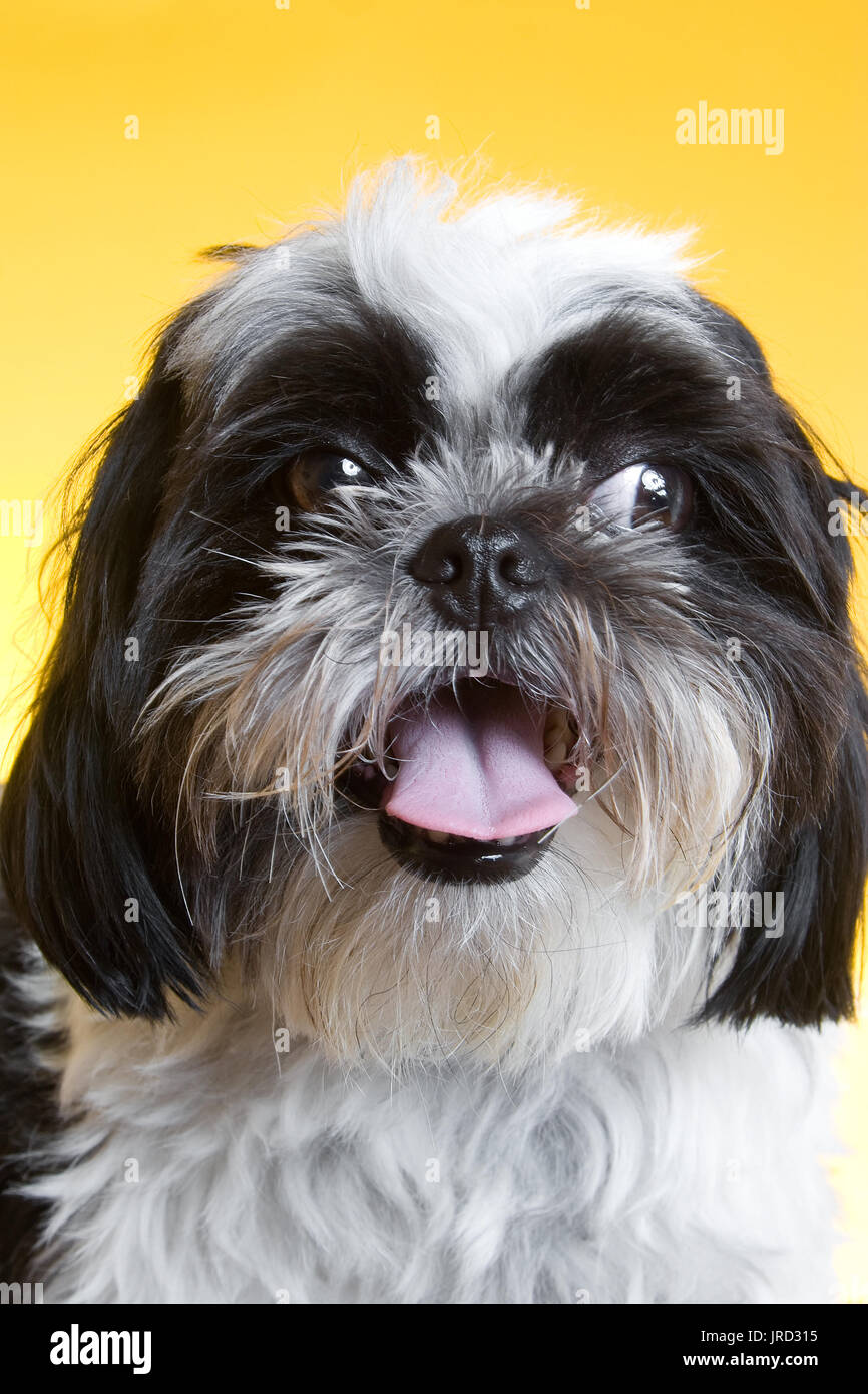 portrait of a shih tzu, he is black and white and has long hair.  Puppy is looking to the side and seems like he is smiling. - Stock Image