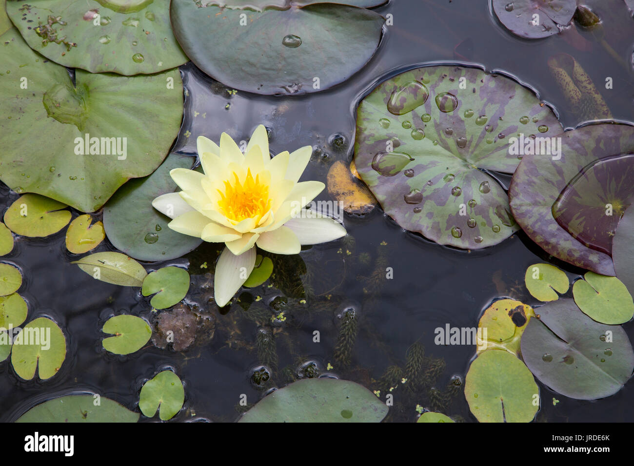 Lilies in a Pond Stock Photo