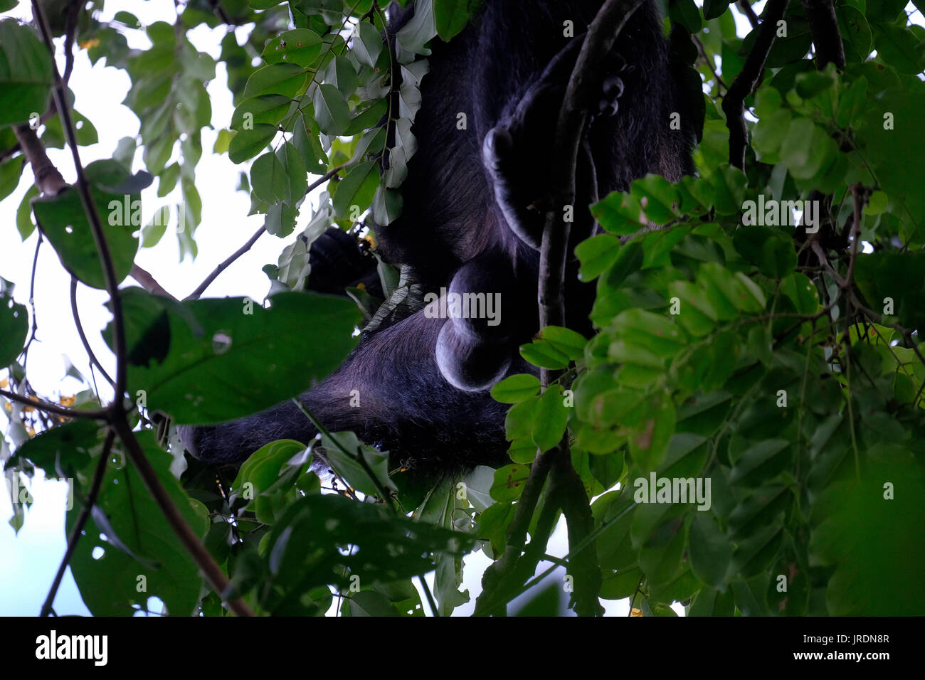 Genitals of a wild chimpanzee of the Kasakela chimpanzee community is observed in Gombe Stream National Park located at the shore of Tanganyika lake in west-central Tanzania Eastern Africa - Stock Image