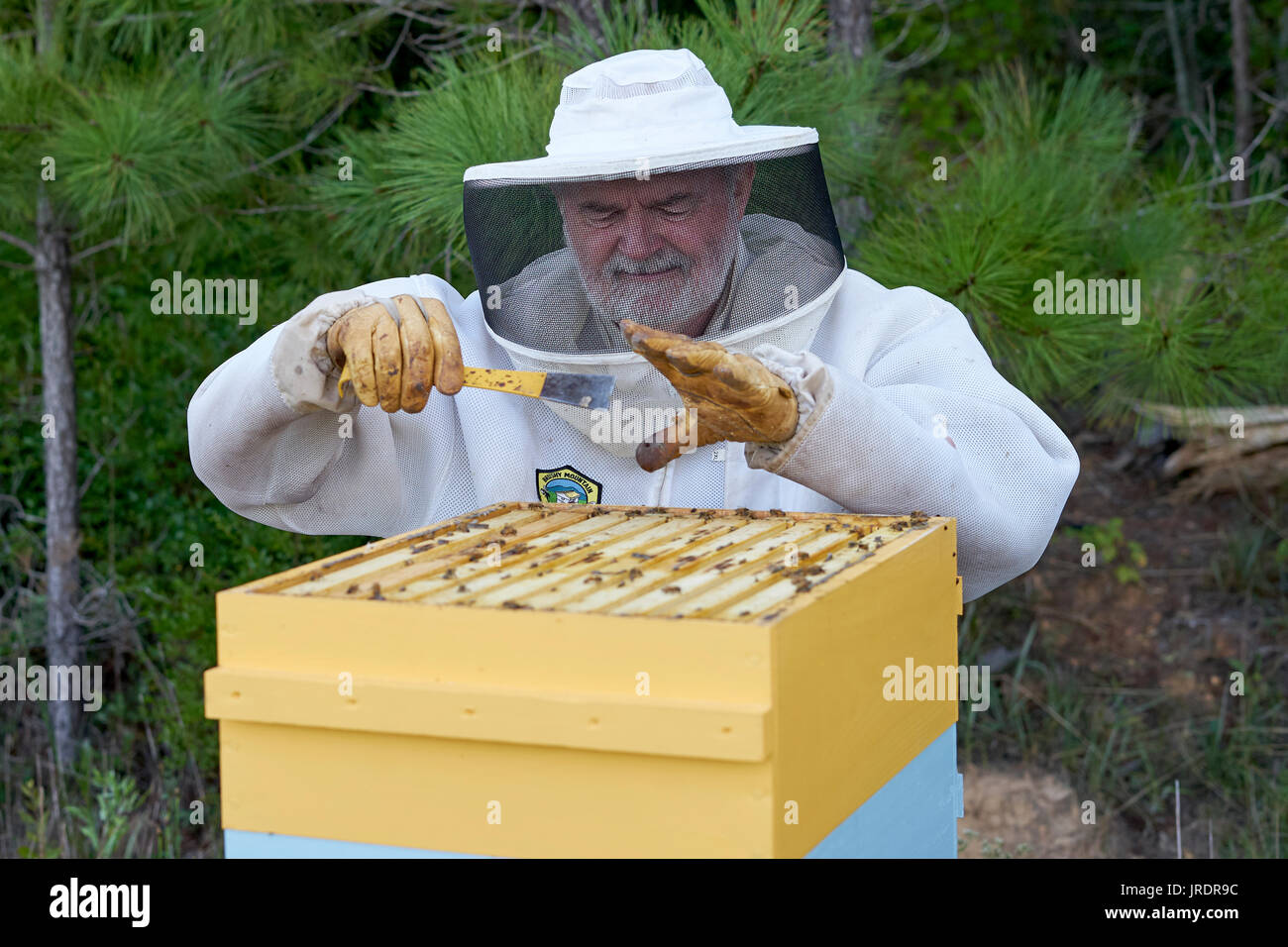 Jim Butler winces as he's stung through his glove on his left hand. The protective gear is helpful, but doesn't stop the bees from stinging.  The Butl - Stock Image