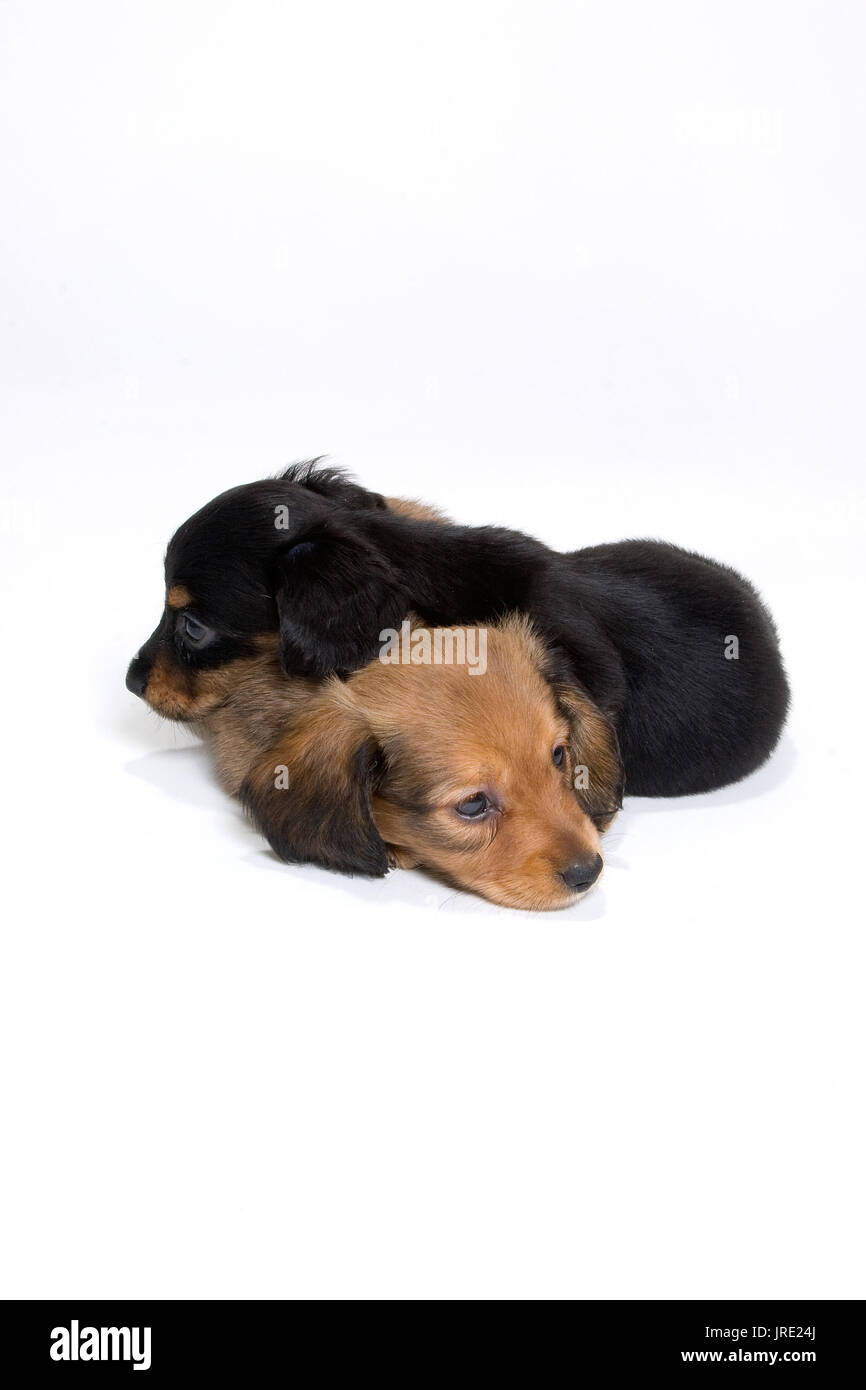 Two dachshund puppies one black one brown sleeping on top of each other in white sheets - Stock Image