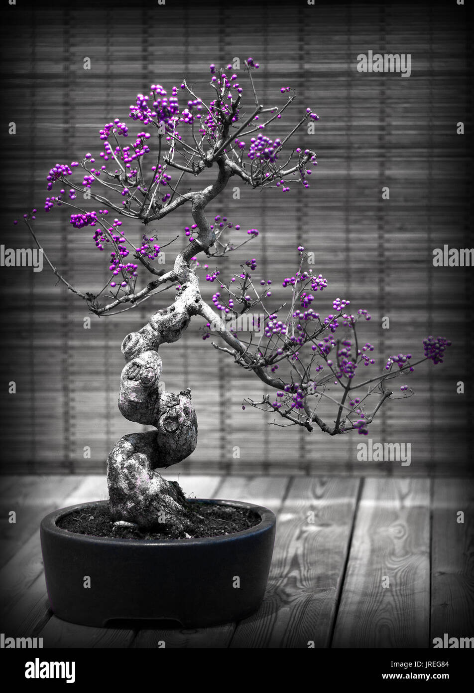 Decorative black and white bonsai tree with purple berries an example of the ancient japanese gardening culture