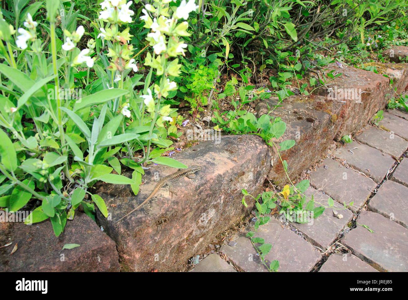 Ruineneidechse, Mauereidechse, Podarcis Siculus Eidechse Im Garten Im Blumen  Beet   Stock Image