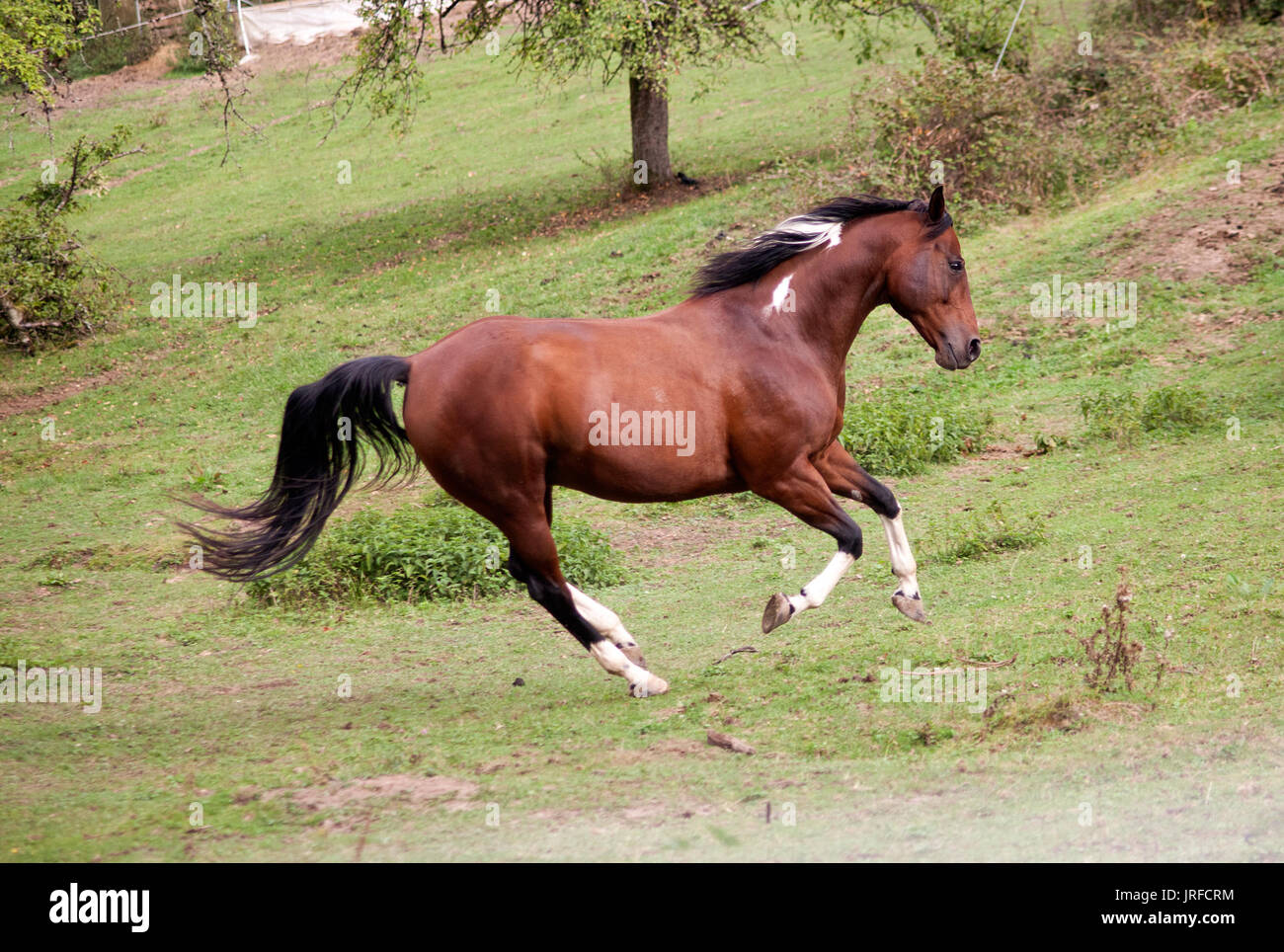 pied horse pinto colored galopp powerful free in meadow. Side view. Summer with bright colors - Stock Image