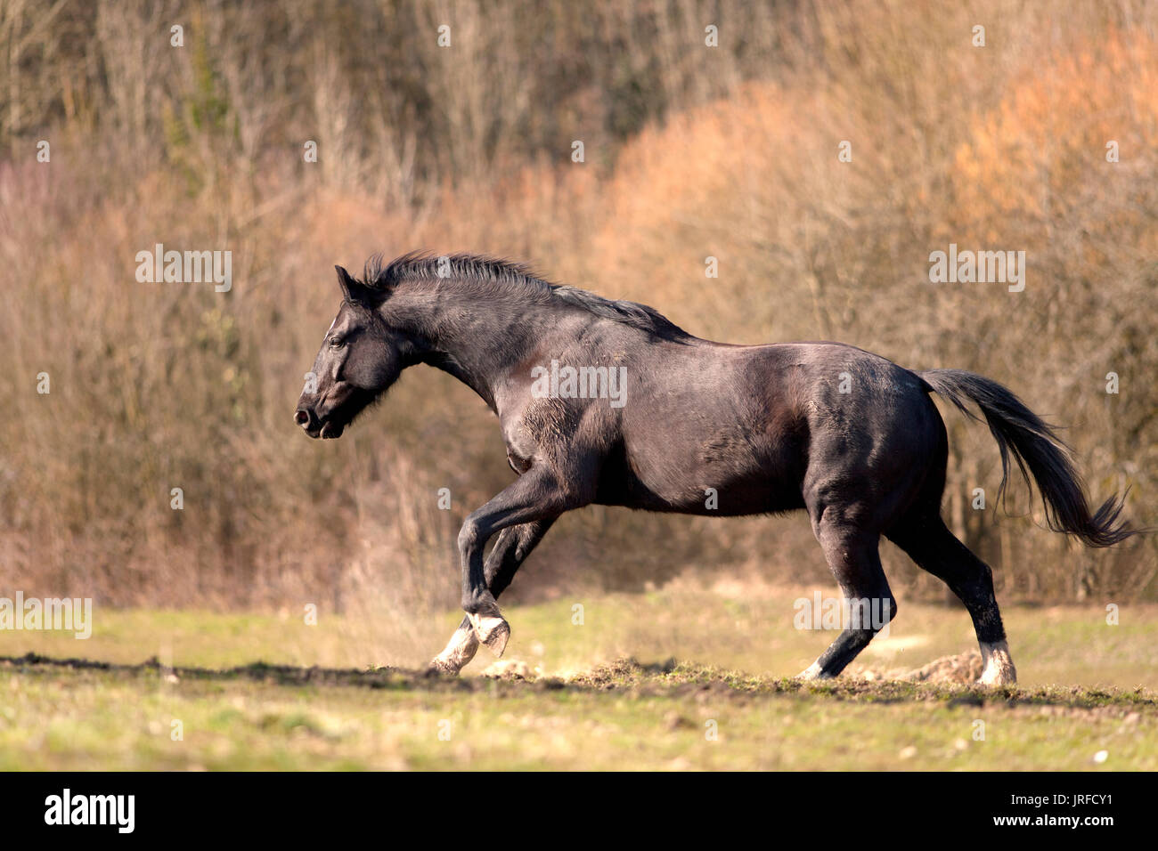 Black stallion horse run free and galopping powerful in madow - Stock Image