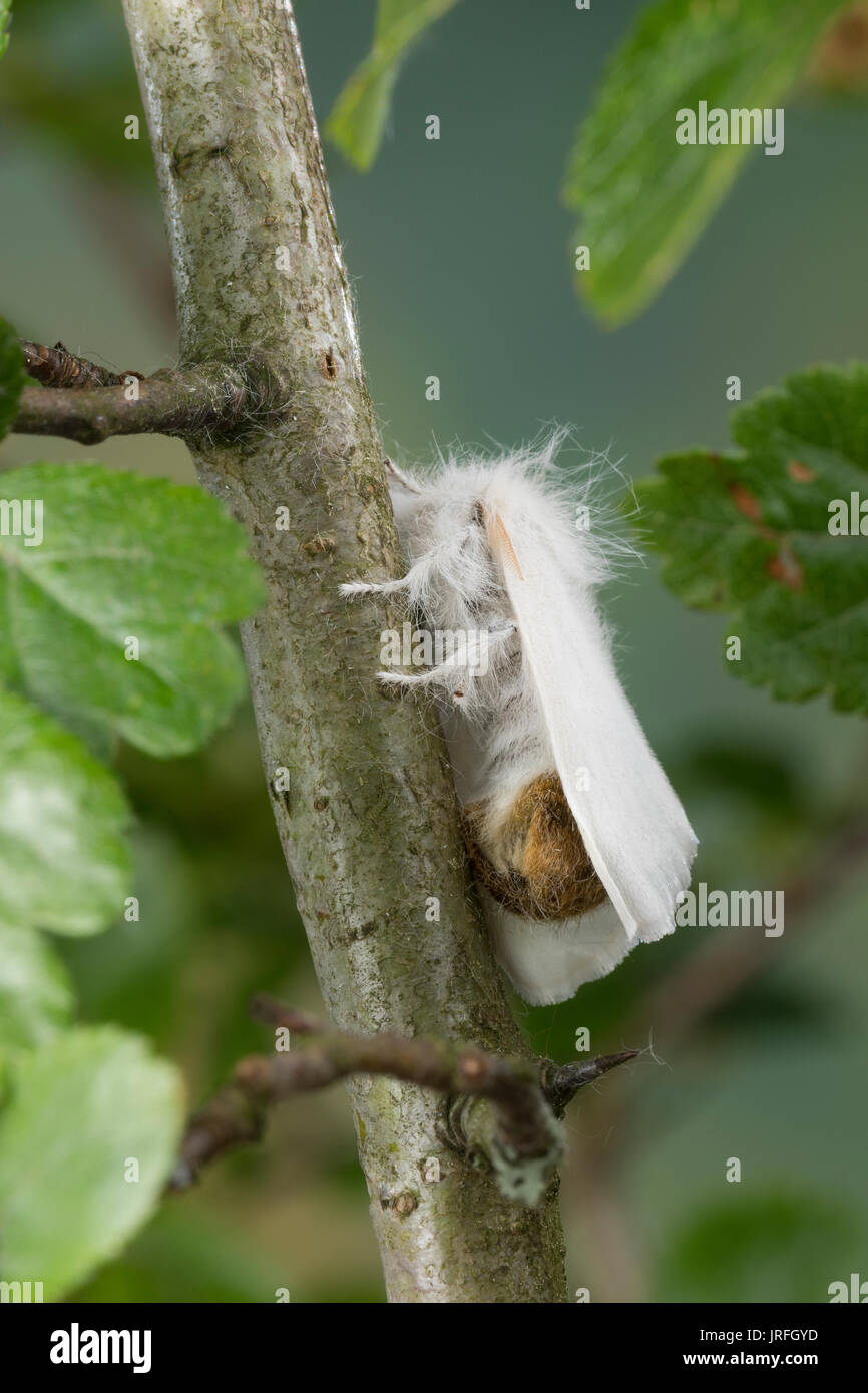 Goldafter, Dunkler Goldafter, Euproctis chrysorrhoea, brown-tail, browntail moth, le Cul brun, Lymantriinae, Trägspinner, Schadspinner - Stock Image