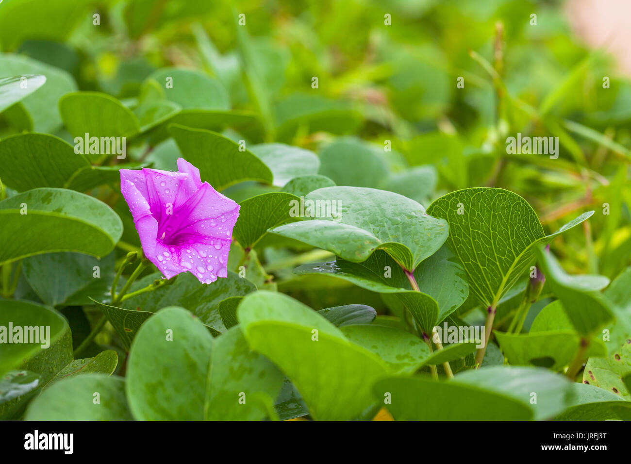 drop of water from rain stuck on flower of beach morning glory Stock Photo