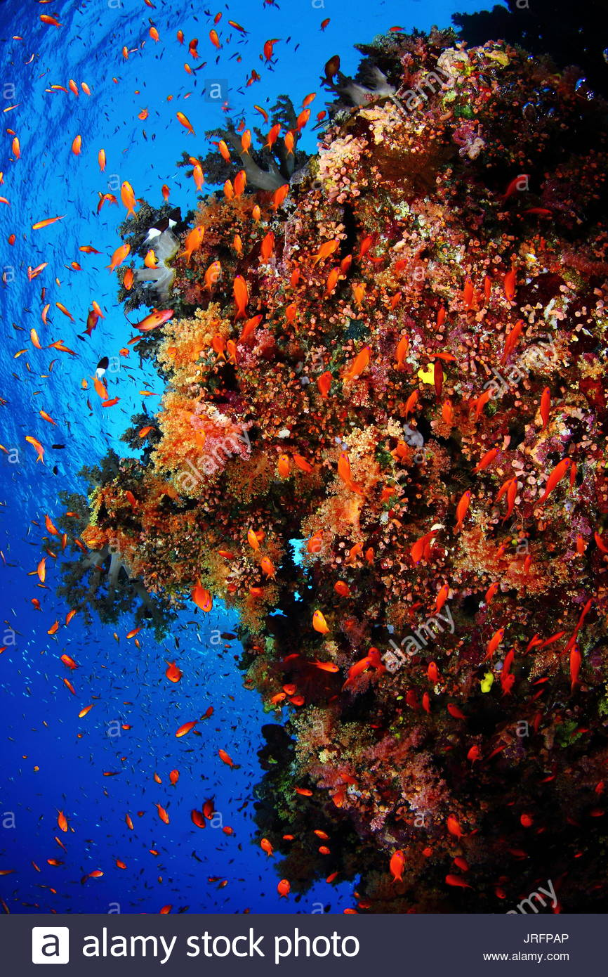 Egypt - Red Sea diving - Reef corals - Stock Image