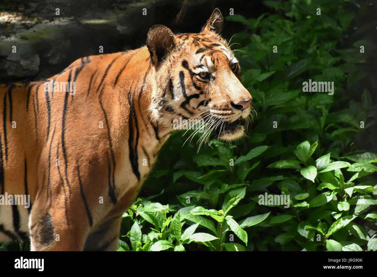 Tiger (Panthera tigris tigris) - Stock Image