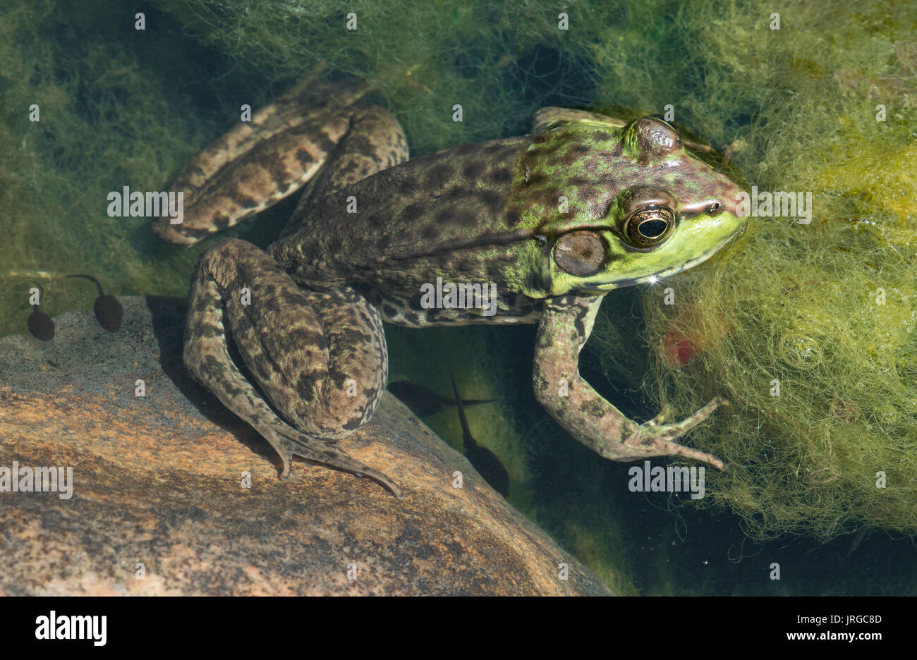 Green Frog (Lithobates clamitans), in pond with Spirogyra algae, E USA by Skip Moody - Stock Image