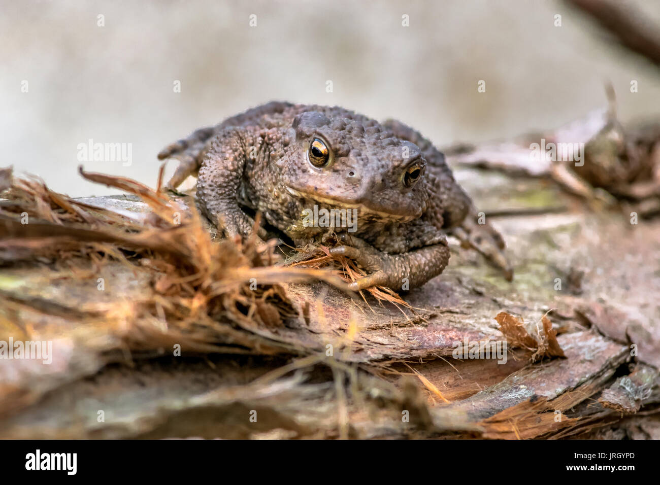 Amphibian, Common British Toad / Frog Stock Photo