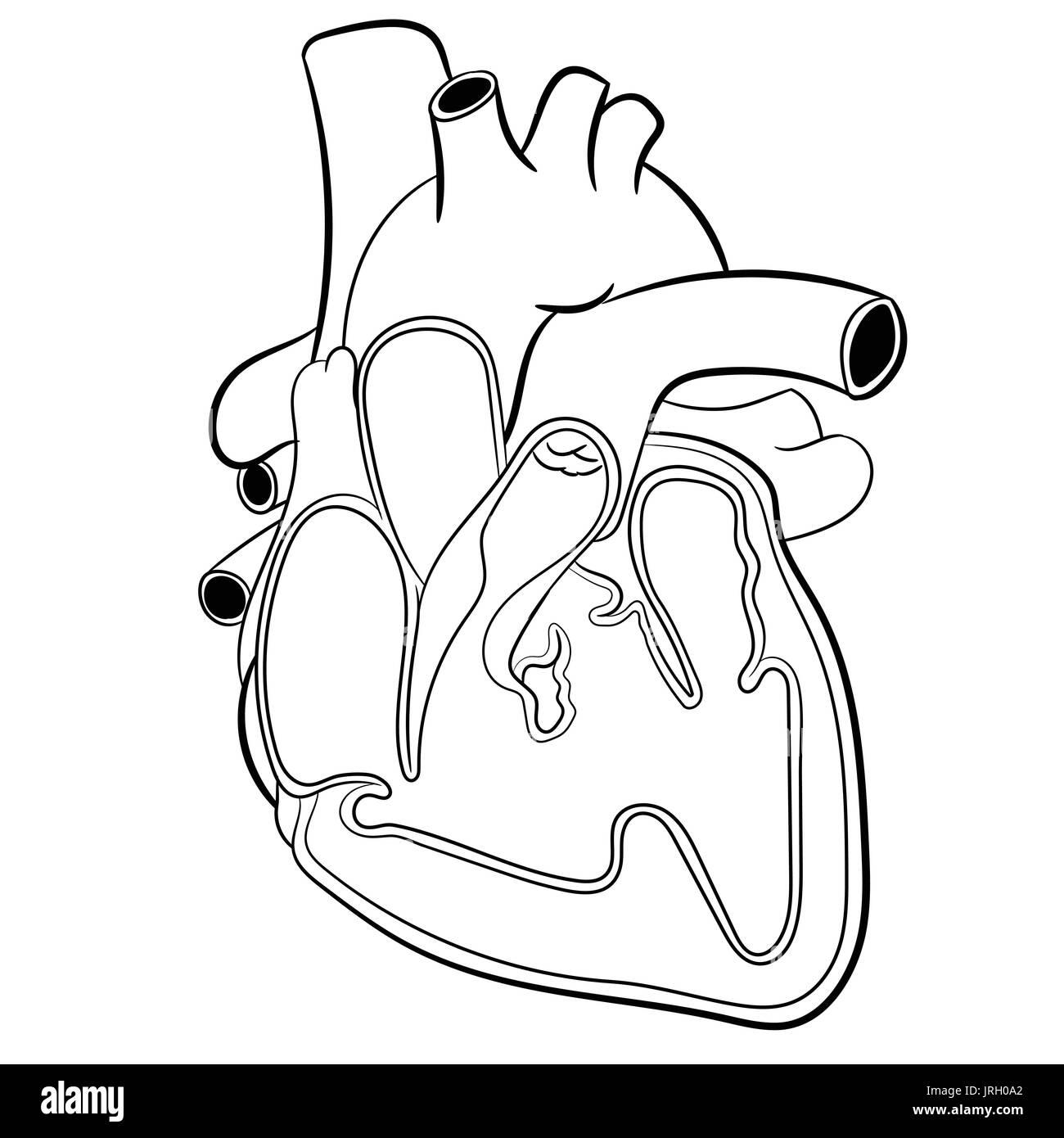 Cardiac Vein Stock Photos & Cardiac Vein Stock Images - Alamy