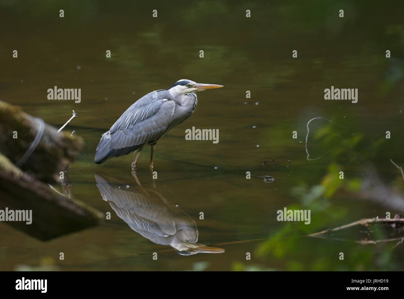 Grey Heron with its reflection standing in an urban pond - Stock Image