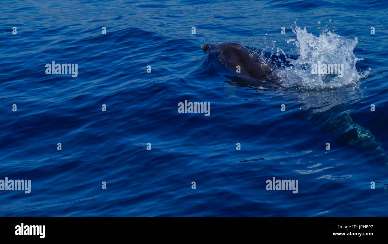Madeira - Blue ocean water and swimming dolphin near Funchal - Stock Image