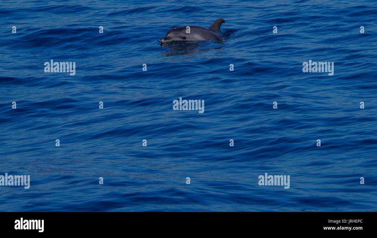 Madeira - Blue ocean water and curious dolphin near Funchal - Stock Image