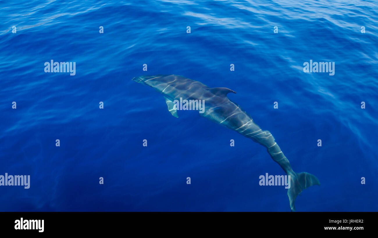 Madeira - Blue ocean water and diving dolphin from behind with flipper - Stock Image