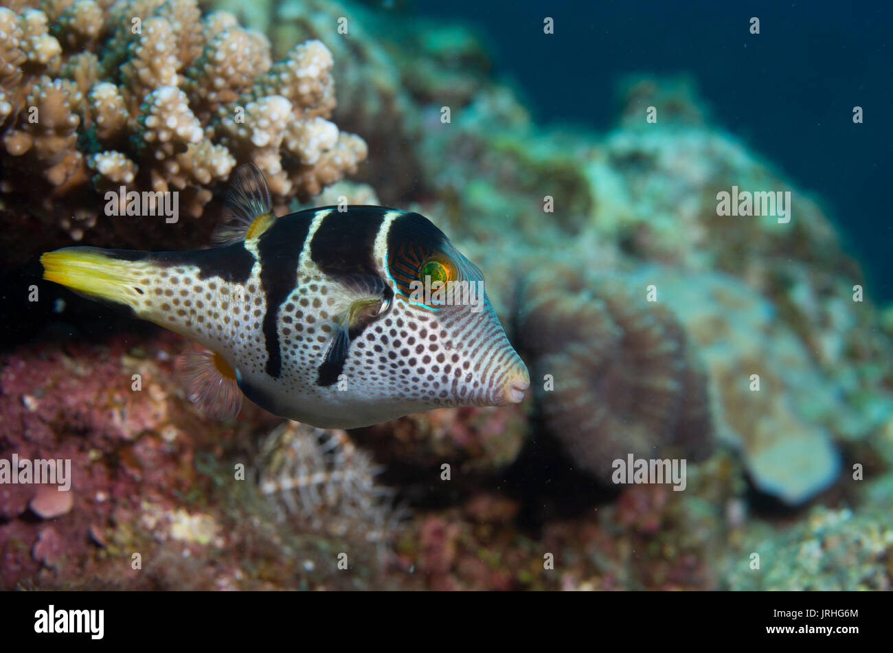 Valentin's sharpnose puffer (Canthigaster valentini), also known as the saddled puffer or black saddled toby. Cape Maeda, Okinawa, Japan. Stock Photo