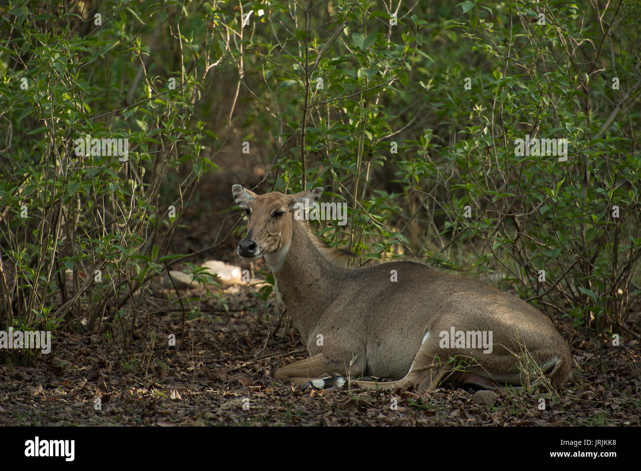 Sambar Deer, Rusa unicolor, Cervidae, Rajaji National Park, India - Stock Image