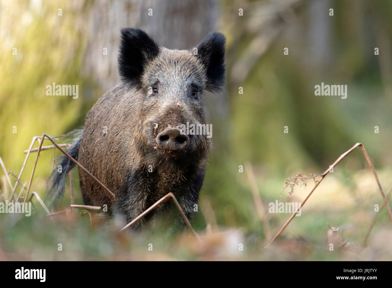 Wild Boar (Sus scrofa), Forest of Dean, Gloucestershire UK - Stock Image