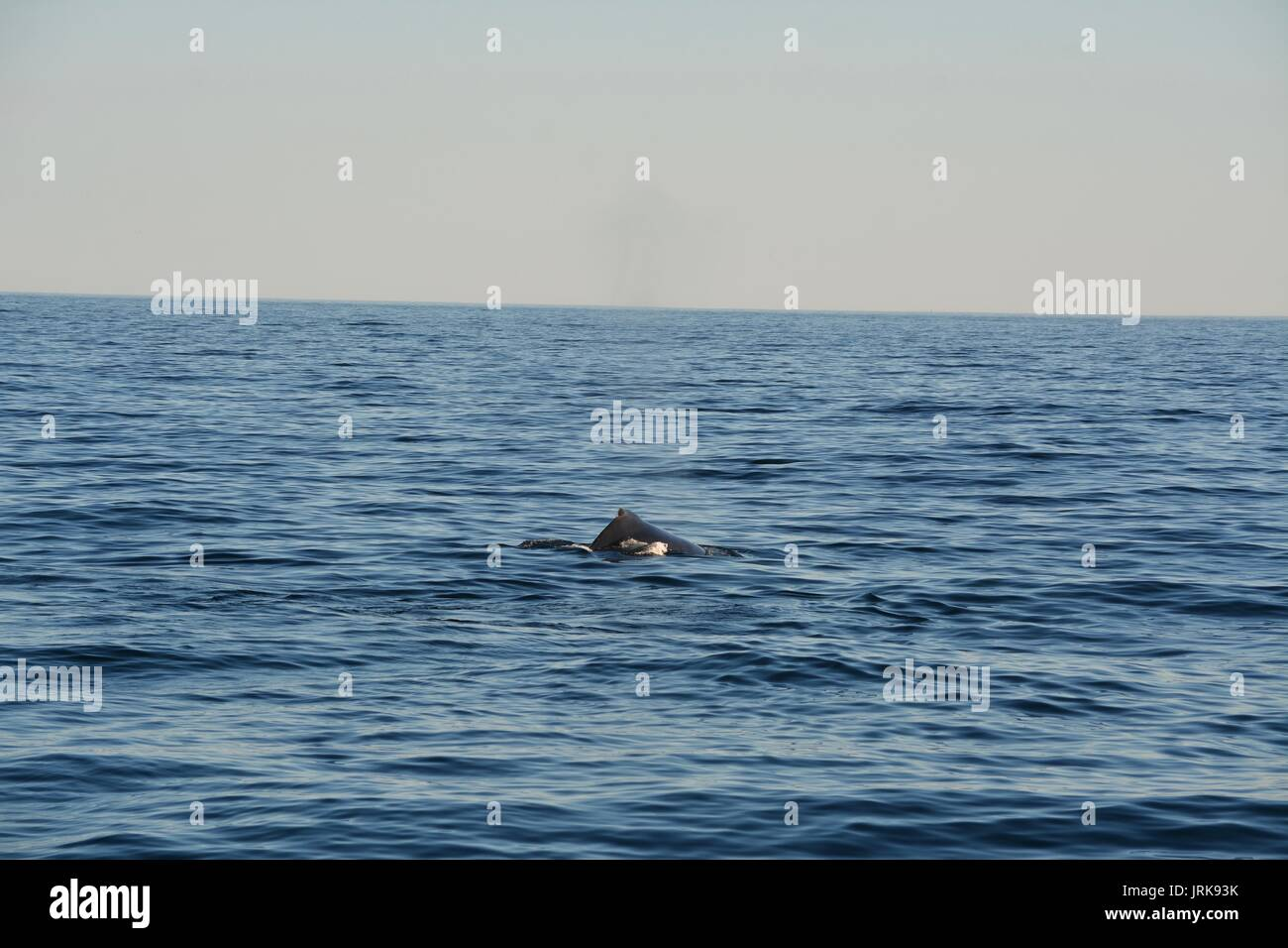 Right Whales spotted swimming off Provincetown, Cape Cod