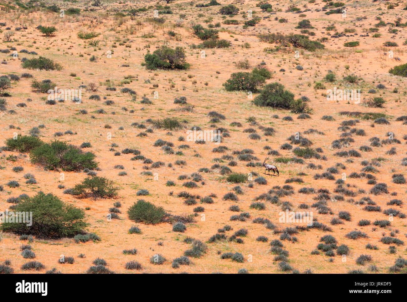 Gemsbok (Oryx gazella) in the vast Kalahari Desert, rainy season with some green grass, Kgalagadi Transfrontier Stock Photo