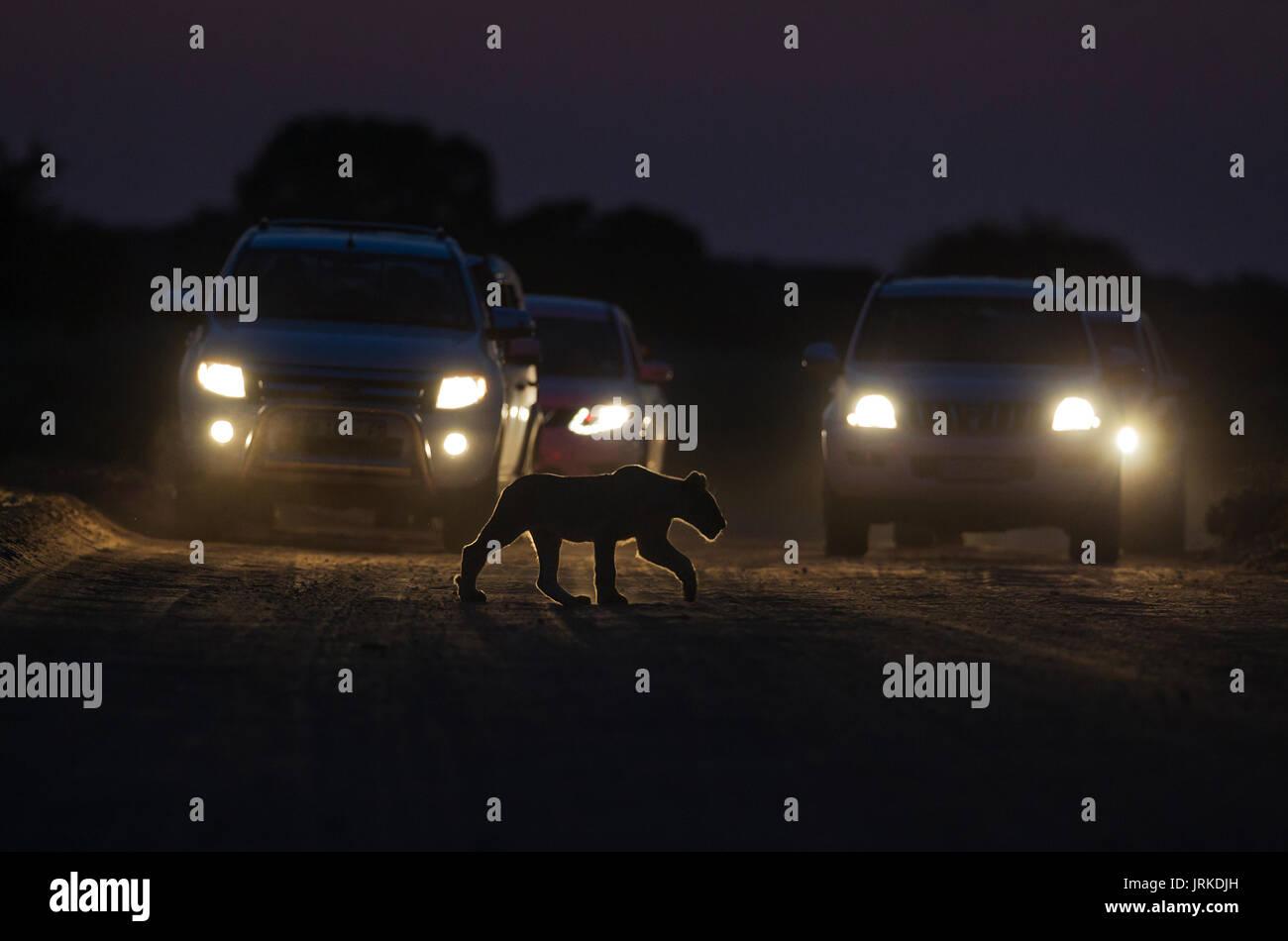 Lion (Panthera leo), cub crosses a road at night, cars behind for morning game drive, Kalahari Desert - Stock Image