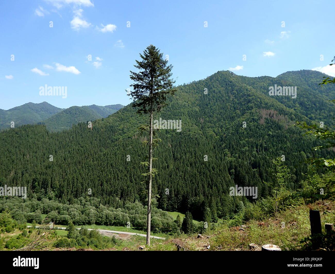 Summer mountain landscape with big fir tree,(abies alba), fir tree, - Stock Image