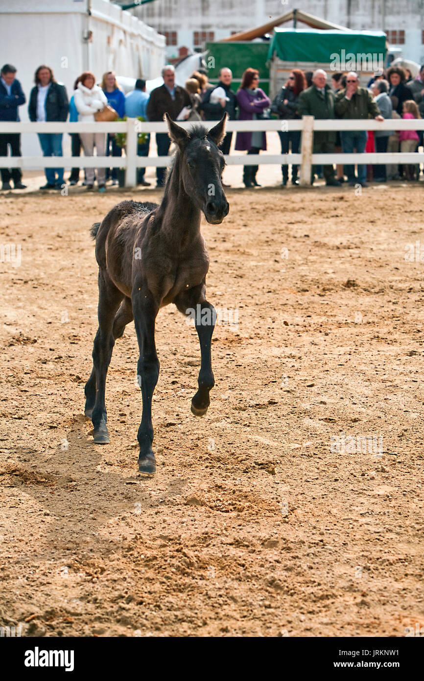 Foal of pure breed Spanish running in equestrian event, Spain - Stock Image