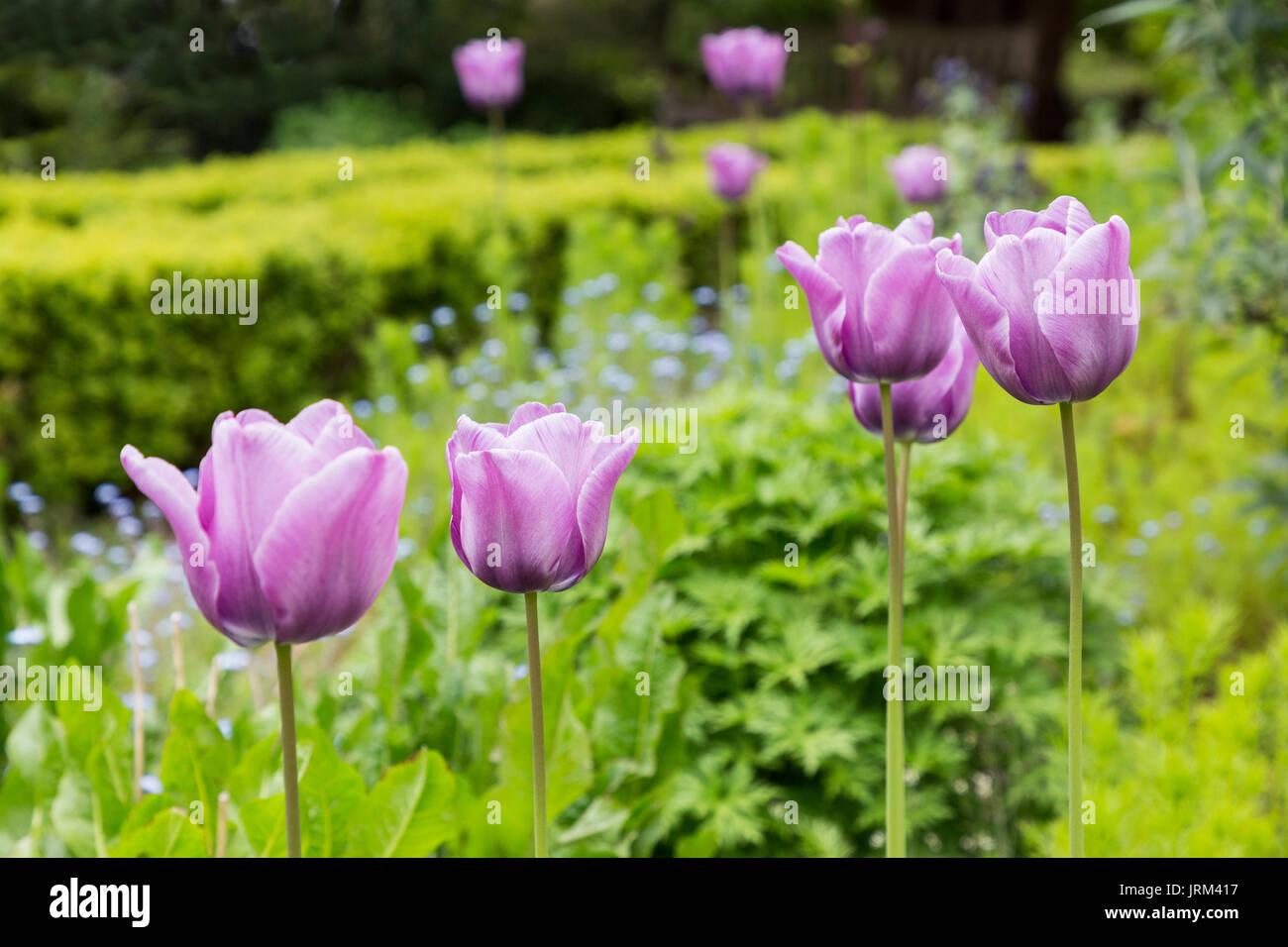 Tulips in public gardens, Linda Vista, Abergavenny, Wales, UK - Stock Image