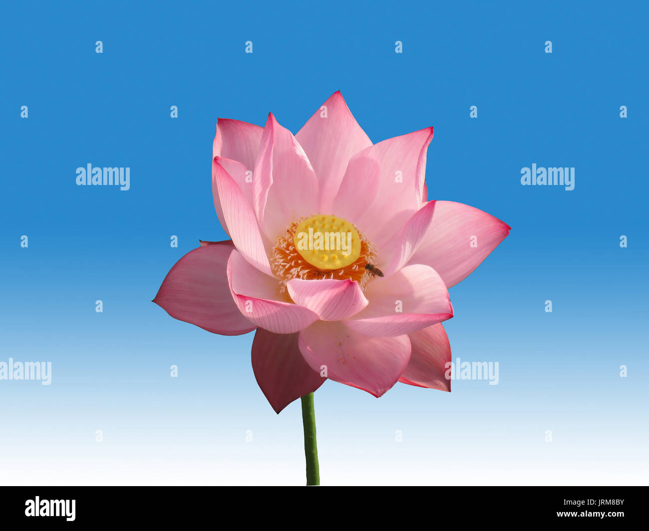 Pink lotus flower isolated on blue and white background stock photo pink lotus flower isolated on blue and white background izmirmasajfo
